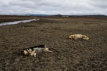 Perros cazados por comer ganado enfermo en ganadería Guanamé. Villa de Arriaga, San Luis Potosí. 2/15/2012